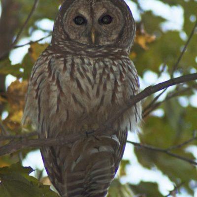 Barred-Owl-VA-680x1024